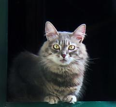 """Fur"" a change (Robyn Hooz (away)) Tags: cat fur pelo luce ombra gatto isola elba compattina sguardo eyes view vista"