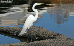 """""""When you come to a fork in the road, take it."""" (Shannon Rose O'Shea) Tags: shannonroseoshea shannonosheawildlifephotography shannonoshea shannon greategret egret bird beak feathers flickr wwwflickrcomphotosshannonroseoshea nature wildlife waterfowl alligator alligators gator gators alligatorbreedingmarshandwadingbirdrookery gatorland orlando florida white canon canoneos80d canon80d eos80d 80d canon100400mm14556lisiiusm fauna outdoors outdoor water birdyfeet"""