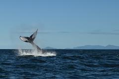 Queue (bonnaudthomas) Tags: queue tail baleine whale républiquedominicaine