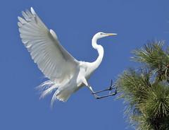 Egret birds - South Norfolk rookery - Virginia (watts_photos) Tags: egret birds south norfolk rookery virginia bird white wading nesting flying bif