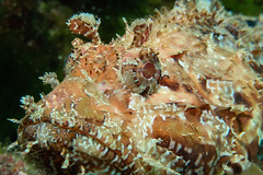 Scorfano. Scorpionfisch. (omar.flumignan) Tags: eye canon g7xmk2 fg7xmk2 ds51 ikelite scorpionfisch scorfano occhio allnaturesparadise
