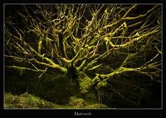 matriarch (tiggerpics2010) Tags: scotland nature westhighlands woodland moss mossy trees growth life green river