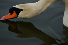 Swan (5ra155) Tags: white swan reflection river danube bird nikon d3200 nikkor nikkor70210mm f4556 nikond3200nikkor70210mmf4556