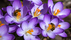 The Honey Makers (Bob90901) Tags: honey portland maine honeybee crocus spring afternoon rpg90901 canon 6d canonef70200mmf28lisiiusm canon70200f28lll bee flower insect pollen 2017 april 1224