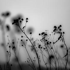 Wetland Prairie Landscape 015 (noahbw) Tags: d5000 dof nikon abstract autumn blackwhite blackandwhite blur bw depthoffield flowers landscape marshland monochrome natural noahbw prairie silhouette square wetlands
