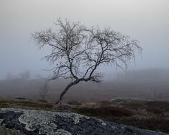 Berk - Birch (naturum) Tags: 2016 abisko autumn berk birch björk boom dimma fall fog geo:lat=6827314000 geo:lon=1858230000 geotagged herfst höst landscape landschap landskap lapland lappland mist nationaalpark nationalpark norrbotten sapmi sápmi september sverige sweden trä tree zweden björkliden swe