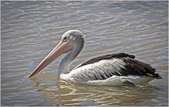 Pelican (cconnor124) Tags: pelicans australiananimals australia australiannature waterbirds birdphotography largebirds naturephotography cairns canon100400lens canon7dmk11
