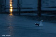 HFF! (Otterhaus) Tags: japan bird wildbird seagull slatybackedgull larusschistisagus hff happyfencefriday sigma50500