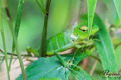 Green Forest Lizard (Papino Photography) Tags: lizard basilisk green leaf leaves jungle rain forst siharaja sit sitting sun light day rainy mist misty hidding curious macro tamron 90 mm ring led