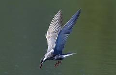 Whiskered Tern  (Chlidonias hybrida) (Ian N. White) Tags: whiskeredtern chlidoniashybrida lobatse botswana