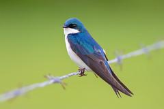 Tree Swallow (Explored) (Tommy Quarles) Tags: tree swallow surrey hills farm louisville ky canon 7d mark ii bird