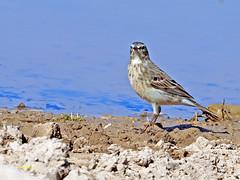 Bisbita alpino (Anthus spinoletta) (31) (eb3alfmiguel) Tags: aves pajáros insectívoros passeriformes motacillidae bisbita alpino