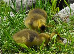 Just Plain Cute ! (John Neziol) Tags: kjphotography edwardsgardens scarborough canadageese canadagoose goose geese goslings outdoor ontario bird feathers grass cute closeup