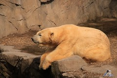Erlebniszoo Hannver 15.04.2017 080 (Fruehlingsstern) Tags: eisbären polarbear sprinter melana elefanten seelöwen weiskopfseeadler yukonbay erlebniszoohannover hannover canoneos750 tamron16300 zoo