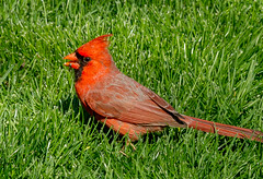 Splendor in the Grass??? (114berg) Tags: 19april17 male northern cardinal sunflower seeds front yard geneseo illinois