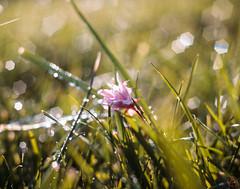 ILCE-6000-07538-20170420-0738-Pano // Meyer-Optik Gorlitz Oreston 50mm 1:1.8 (Otattemita) Tags: 50mmf18 florafauna görlitz meyeroptik meyeroptikgörlitzoreston50mmf18 oreston fauna flora flower nature plant wildlife meyeroptikgorlitzoreston50mm118 sony sonyilce6000 ilce6000 50mm cnaturalbnatural ota