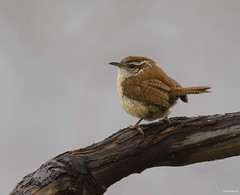 Carolina Wren (swmartz) Tags: roeblingpark birds bird wren outdoors nikon nature newjersey mercercounty hamilton trentonmarsh