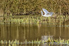 Little Egret / Kleine Zilverreiger (rob.bremer) Tags: noordhollandsduinreservaat noordholland kleinezilverreiger littleegret egrettagarzetta bird birdsinflight bakkum karpervijver kennemerduinen vogel meertjevanvogelenzang nature natuur