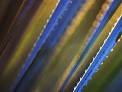 Sunlight's Edge (hardaker) Tags: davis bokeh fade glow macro plant sharp spike spine stem sunlit sunset thorn unknownday tofb