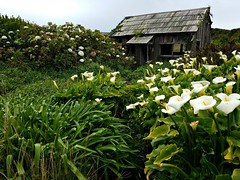 The Shack is Hollow, but the Garden is Full (John 3000) Tags: blackpointbeach searanch california sonomacounty flowers nature calla lilies hydrangea plants abandoned house garden jardin travel february2017