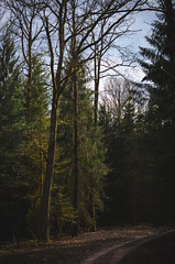 (Future Synae) Tags: vosges forest forêt woods trees nature outdoor matte tree arbre arbres light lumière pine needles path chemin aiguillesdesapin sapin