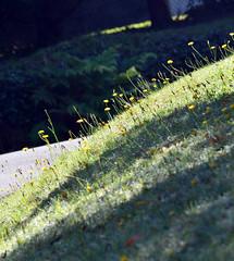 Autumn (graeme37) Tags: autumn dappledlight hillsgarden grass dandelions