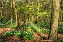 Endlich wird es grün.... (impossiblejoker) Tags: grün green laub leaves buschwindröschen wald wood forest blossom bäume trees natur nature d610 nikon