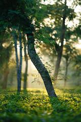 Assamese Teagarden (._-Patrick-_.) Tags: assam teagarden morning light canon 5diii 135l 135mm f2 india northeast northeastindia assamese