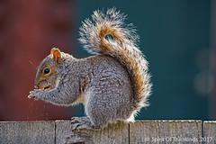 "And The Chips They Fly (jimgspokane) Tags: squirrrels spokanewashingtonstate animals wildlife ""nikonflickraward"""