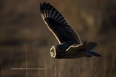 Short Eared Owl (namra38) Tags: armanwerthphotography shortearedowl stanwoodwa wildlife washington