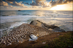 Gannet sunset (katepedley) Tags: north island northisland new zealand newzealand canon 5d 1740mm polariser muriwai birds gannet bird sunset coast ocean colony rock geology seastack nesting nest waves auckland