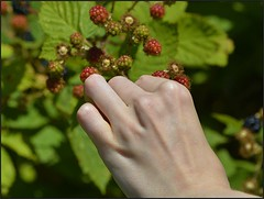 Finding A Ripe One (swong95765) Tags: blackberry berry pick picks hand food wild bush thorns picking fruit