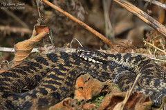 Adder - Male - Vipera berus (wildlife_photo) Tags: adder garry smith staffordshire cannock chase reptiles snakes wild flickr vipera berus nature