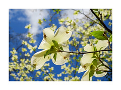 Dogwood, Duke Gardens (Joe Franklin Photography) Tags: dogwood dukegardens spring flower floral bloom carolina northcarolina durham joefranklin wwwjoefranklinphotographycom almostanything gardens