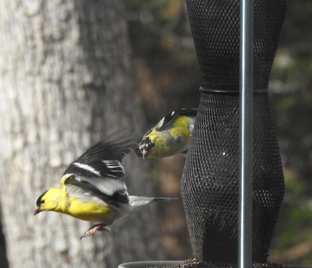the world u0027s best photos of goldfinch and virginia flickr hive mind