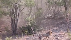Animal attacks | animal attack videos | Lion attack bufallo (newsvideoswatch) Tags: animal attacks | attack videos lion bufallo