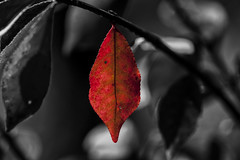Last Red, Select Color (Klaus Ficker --Landscape and Nature Photographer--) Tags: selectcolor black color leaves photoshop kentuckyphotography klausficker usa kentucky canon eos5dmarkii
