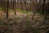 Fannie of the forest (severalsnakes) Tags: 365 fannie kansas m3528 pentax pomeranian shawnee shawneemissionpark dog dogpark k1 manual manualfocus