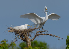 Gift for My Honey (Amy Hudechek Photography) Tags: great white egret nesting nest wildlife nature flight wing spread bird smith oaks rockery high island texas amy hudechek
