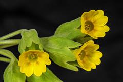 Echte Schlüsselblume (günter mengedoth) Tags: primula veris schlüsselblume wildblume frühling frühlingsblüher macro