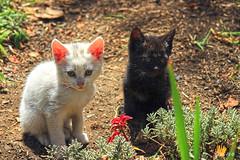 Blanco y negro (Gaby Fil Φ) Tags: animales mascotas gatos perú sudamérica huaraz museodearqueologíadeancash felinos naturaleza