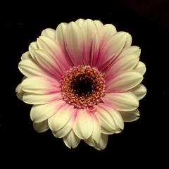 Gerbera Daisy (Virginia Rivers) Tags: gerberadaisy gerbera daisy flower compositae bloom singleflower spring canon canoneos canon60d macro closeup garden idaho canonefs60mmmacrolens pinkandwhite petals