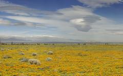 Poppies & Lennies (pixelmama) Tags: antelopevalley californa flowers lancaster pixelmama poppies wildflowers superbloom lenticularclouds clouds losangelescounty
