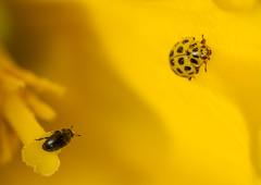 Spotted.... (markhortonphotography) Tags: daffodil markhortonphotography nature flower pollenbeetle insect coleoptera 22spotladybird surrey psylloboravigintiduopunctata macro invertebrate thatmacroguy meligethes pest surreyheath wildlife beetle pollen yellow ladybird