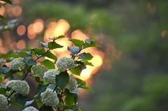 Snowball  Bush (I'magrandma) Tags: snowballbush shrub sunset georgia