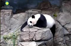 Panda Mei (pattie7459) Tags: ccncby smithsonianscreenshot nationalzoo panda snooze