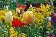 Flower Power (KPPG) Tags: 7dwf flora flower blumen tulpe garden garten claudemonet france frankreich giverny