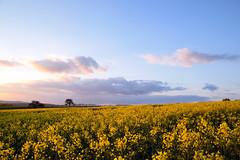Lumière d'un soir d'avril (Croc'odile67) Tags: nikon d3300 sigma contemporary 18200dcoshsmc paysage landscape printemps spring fruhling ciel cloud sky nature nuage colza