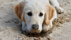 Eating Sand (Mirretjuh) Tags: dog golden retriever pup puppy puppys eating sand digging cute sweet outside snout beautiful 14 weeks