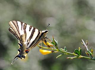 Papallona zebrada, Reina cebrada, Iphiclides podalirius